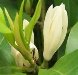 Pot Panjang Ukuran 30 Cm Cocok Untuk Tanaman Likuanyu tanaman cempaka kantil putih bibitbunga