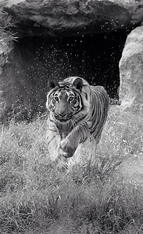 plombier cormeilles en parisis 3105 les 74 meilleures images 224 propos de tigres blanc sur
