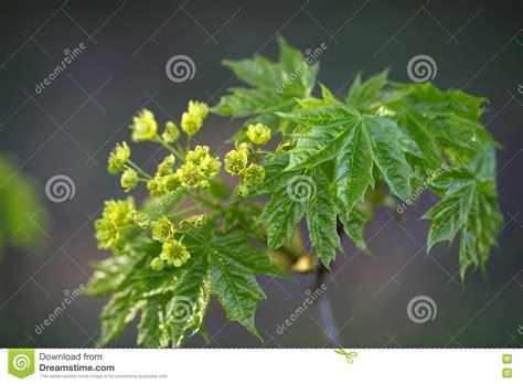 fiori di acero fiori di un albero di acero riccio immagine stock