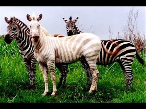 what color is a zebra pictures to color of zebras baby zebra the color jinni