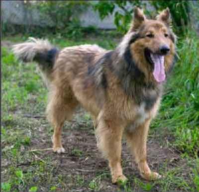 golden retriever shedding solutions golden retriever shed hair goldendoodle golden retriever mixed dogs for adoption