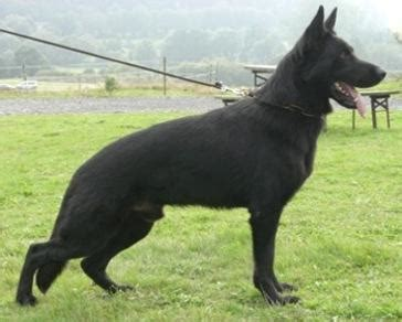 Line Black Mix breeder trainer seller of world class pedigree belgian