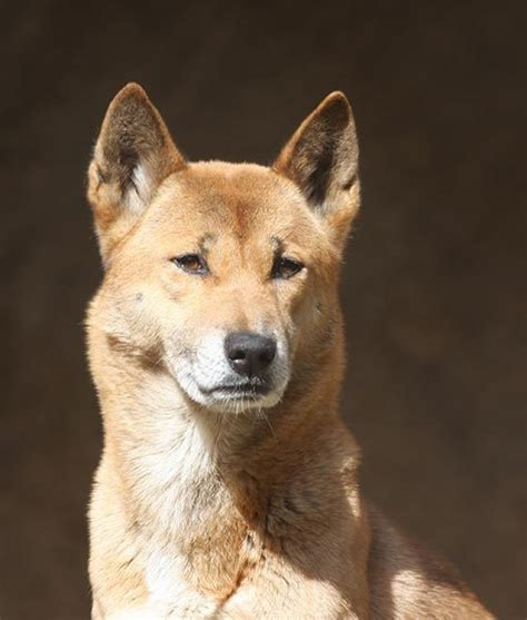 singing dogs 20 best images about new guinea singing dogs on to be households and