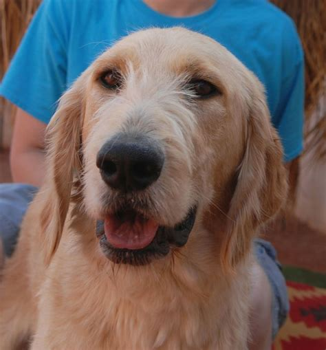 wolfhound golden retriever mix 17 best images about adoptable pets pets for foster on golden retriever