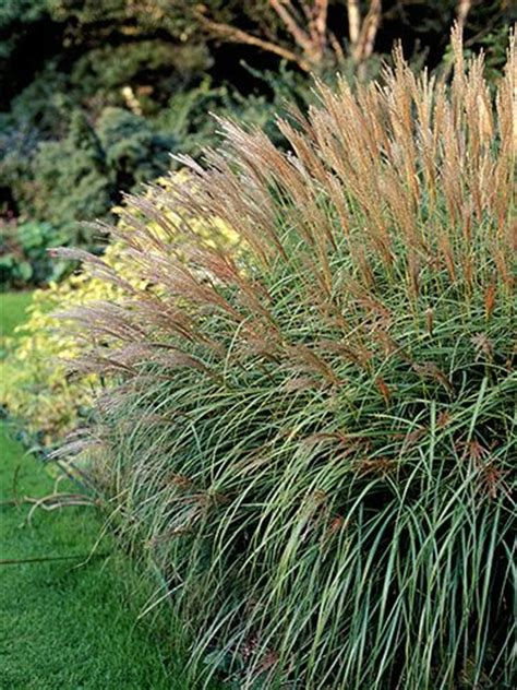 weeds in the backyard 4 feet tall grasses perennials and plants on pinterest