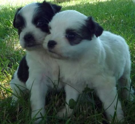 maltese and pug pug and maltese muggese or malti pug pug mixed breeds pug and maltese