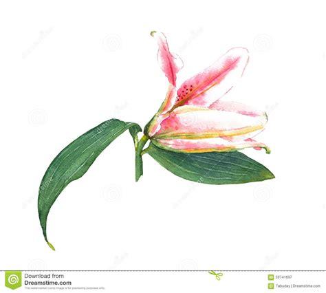 giglio rosa fiore giglio rosa dell acquerello illustrazione di stock
