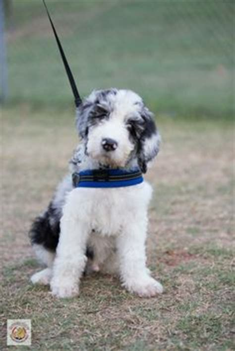 doodle dane puppy great doodle puppies www pixshark images galleries