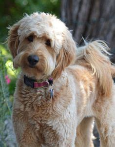 short haired labradoodle f1b i kissed a golden doodle and i liked it