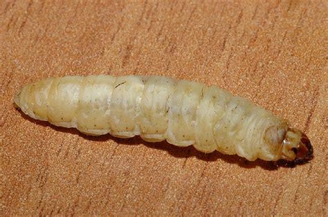 larve in casa camola miele galleria mellonella forum natura