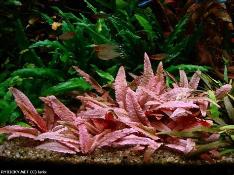 Cryptocoryne Aquascape by Cryptocoryne Flamingo Cryptocoryne And Anubias