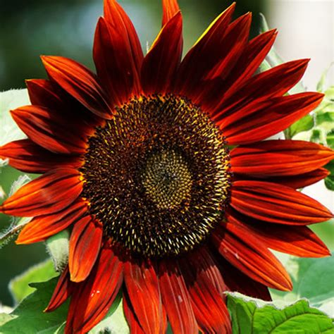 potted sunflower picture more detailed picture about led flower pot gerbera fake flowers 40pcs mixed colored sunflower seeds rare bonsai flower