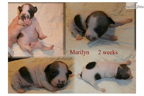 american hairless terrier puppies for sale american hairless terrier breed information breeds picture