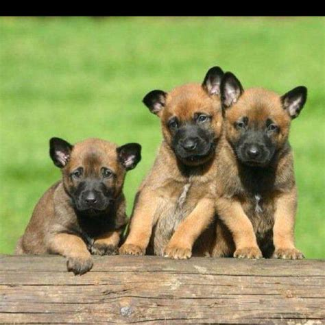 german malinois puppy the gallery for gt belgian malinois puppies