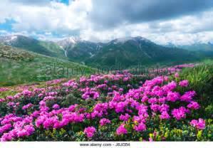 Leek Flower - pink mountain flowers stock photos amp pink mountain flowers stock images alamy