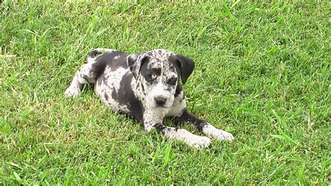 lost rescue lost rescue found web background catahoula breed currant catahoulas welcome