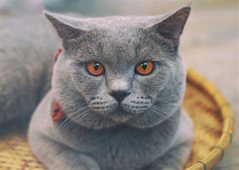 gatto certosino alimentazione gatto certosino francese tutto ci 242 bisogna sapere i