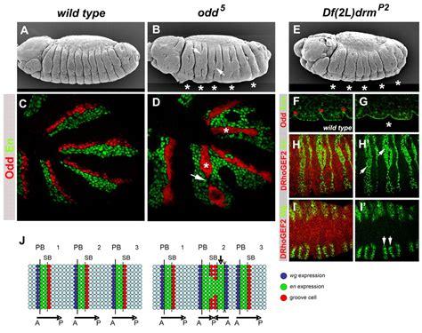wg pattern formation hedgehog but not odd skipped induces segmental grooves