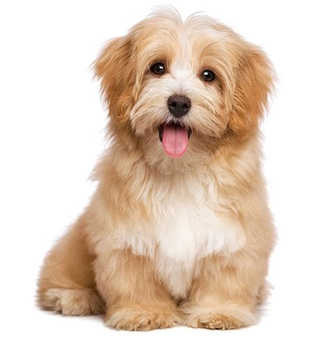 havanese breed characteristics havanese breed information and characteristics puppyspot