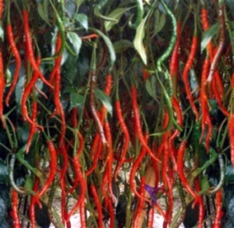 Bibit Cabai Tm 99 tani makmur budidaya cabai merah keriting di lahan kering