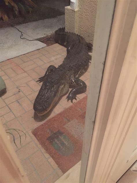 Alligator At Front Door Terrifying 10 Foot Alligator At Door Step