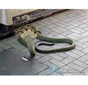 Penis Snake Discovered In Brazil Omg  Democratic Underground