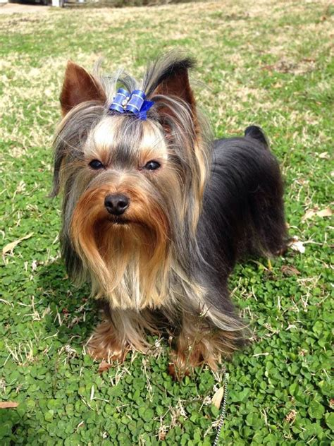 how to my yorkie to outside 99 best images about great yorkie pics on ralph waldo emerson yorkies and