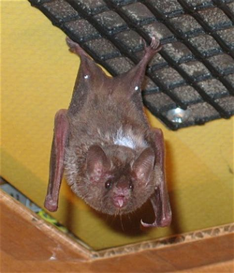 bat in the house holy bats in the house man yes pest pros inc