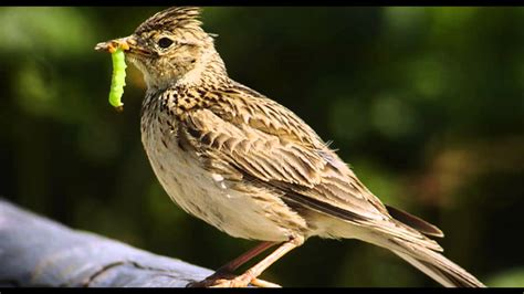 skylark bird call bird song youtube