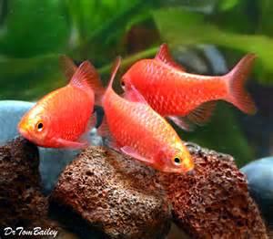 rosy barb for sale aquariumfish net