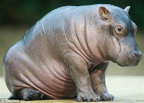 VIDEO: Big mamma hippo shows off adorable new calf Paula