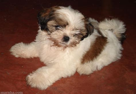 shih tzu in house there s a shih tzu puppy in the house macuha