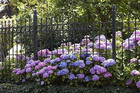 Quand Planter Les Hortensias by Comment Rater Ses Hortensias Promesse De Fleurs