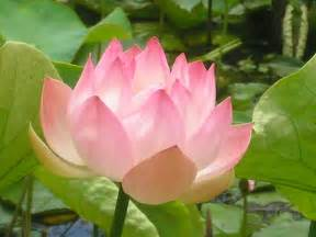 Of The Lotus Lotus Flower