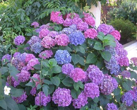 imagenes de jardines con hortensias la hortensia mucho m 225 s que una bella planta ornamental