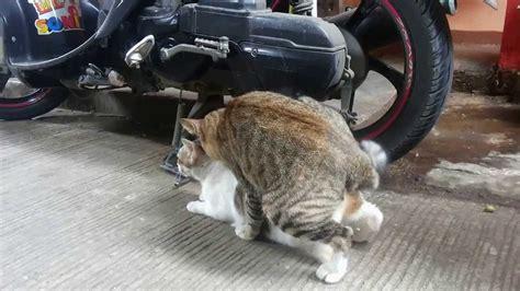 adegan mesum sepasang kucing youtube