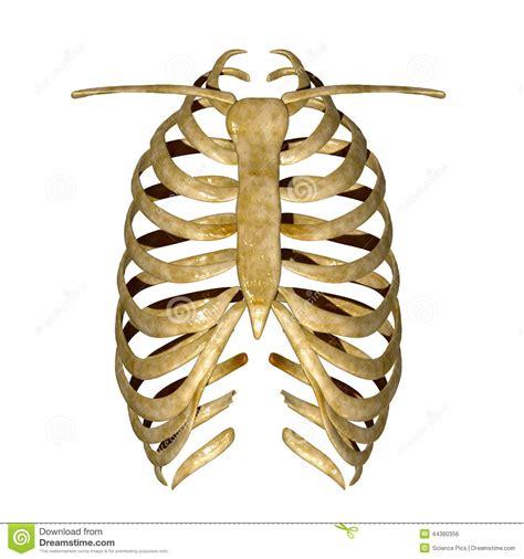 dolore gabbia toracica gabbia toracica illustrazione di stock immagine 44380356
