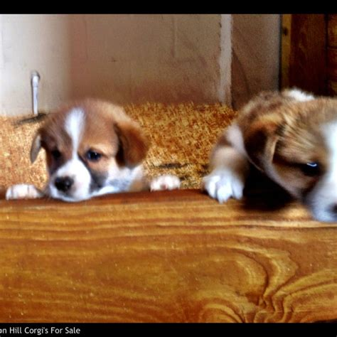fluffy corgi puppies for sale 25 best ideas about corgi puppies for sale on corgi dogs for sale corgis