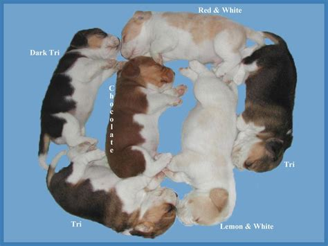 beagle colors beagle puppy colors so much cuteness