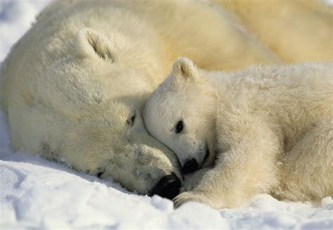 the polar bear the face of climate change the polar bear 171 the endangered space