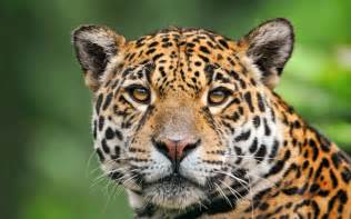 Jaguar In Forest Jaguar Of The Tropical Rainforest Wallpaper 2560x1600