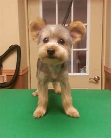 yorkie teddy haircut yorkie teddy bear trim puppy cut yorkshire terrier haircut groom going to the dogs