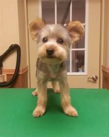 yorkie teddy haircut yorkie teddy bear trim puppy cut yorkshire terrier