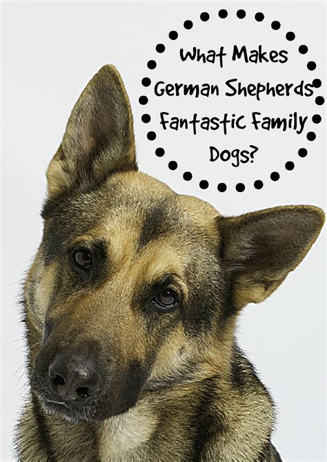 are german shepherds family dogs what makes german shepherds fantastic family dogs