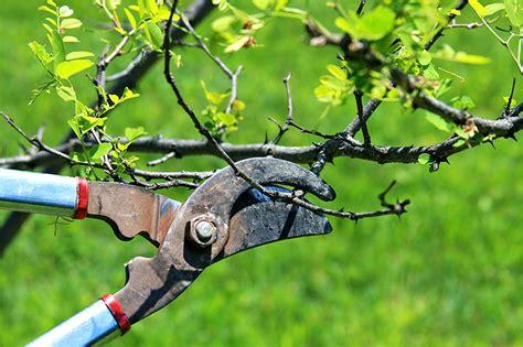 la poda pruning 8467703059 poda de los frutales de hueso pros y contras de los distintos sistemas de formaci 243 n