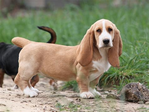basset hound puppies for sale in ms appalachian basset hounds previous puppies
