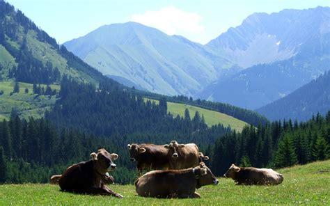 google imagenes vacas fondos de pantalla de vacas wallpapers hd