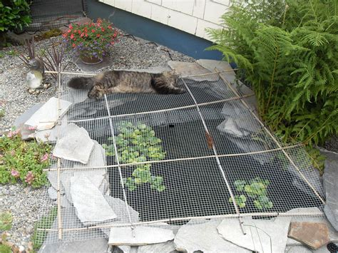 How To Keep Raccoons Out Of Your Garden by Hometalk Keeping Raccoons Out Of The Pond