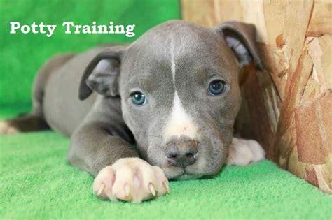 potty a pitbull puppy 17 meilleures id 233 es 224 propos de blue nose pitbull puppies sur foyers bleus