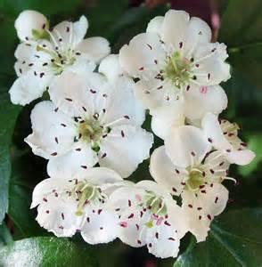 Birth Flower April - hawthorn flower tattoo designs viewing gallery